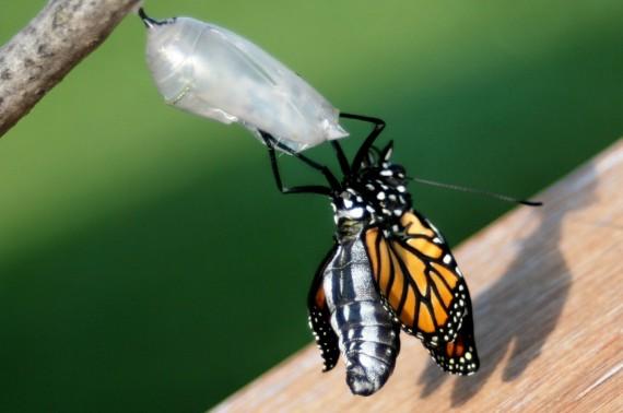 Fluture iesind din cocon